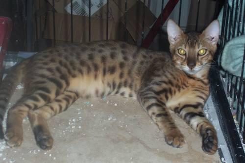 Bengal - Benson - Medium - Young - Male - Cat