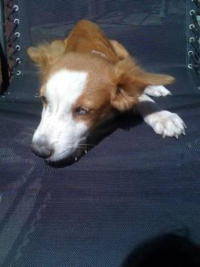 Retriever - Dylan - Medium - Young - Male - Dog