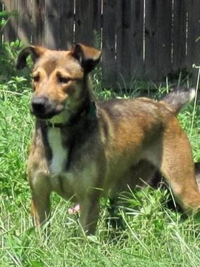 Shepherd - Troy - Medium - Young - Male - Dog