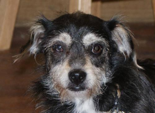 Dachshund - Rascal - Medium - Young - Male - Dog