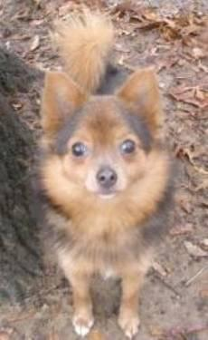Chihuahua - Taz - Small - Young - Male - Dog