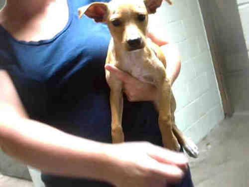 Chihuahua - A171605 - Small - Young - Male - Dog
