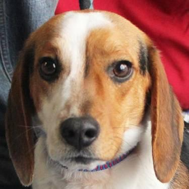 Beagle - Splash - Medium - Young - Male - Dog