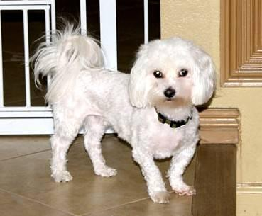 Maltese - Cocoa - Small - Young - Male - Dog