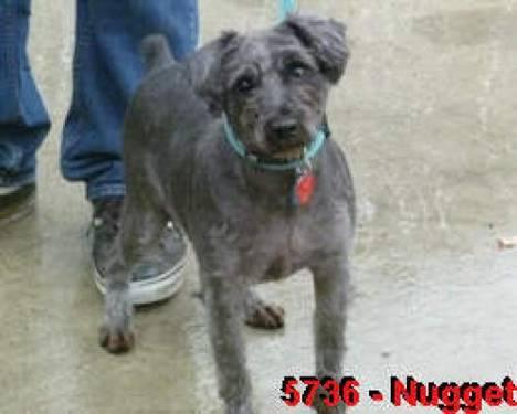 Schnauzer - Buddy - Small - Young - Male - Dog