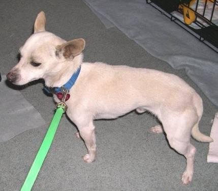 Chihuahua - A3245392 - Small - Young - Male - Dog