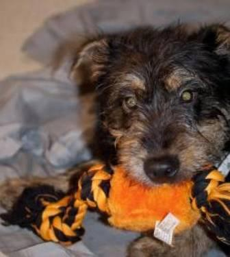 Terrier - Tommy - Small - Young - Male - Dog