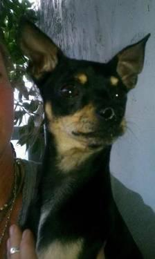 Chihuahua - Bullet - Small - Young - Male - Dog