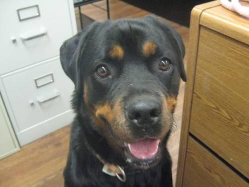 Rottweiler - D13-020 - Large - Young - Male - Dog