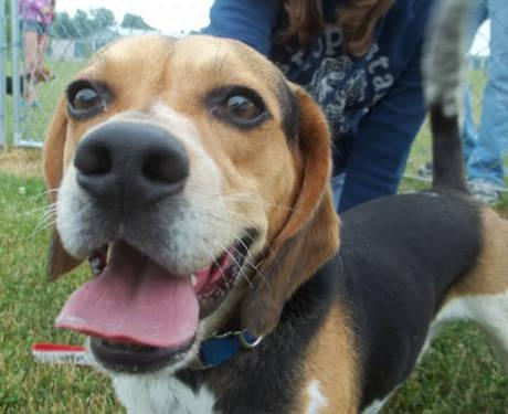 Beagle - Flash - Medium - Young - Male - Dog