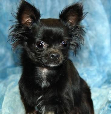 Chihuahua - Barrett - Small - Young - Male - Dog