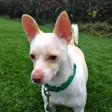 Chihuahua - Speedy - Medium - Young - Male - Dog