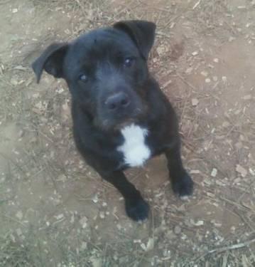 Terrier - Koe-joe - Medium - Young - Male - Dog