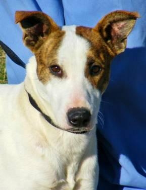 Whippet - Nacho - Medium - Young - Male - Dog