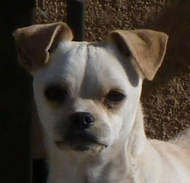 Chihuahua - Moby - Small - Young - Male - Dog