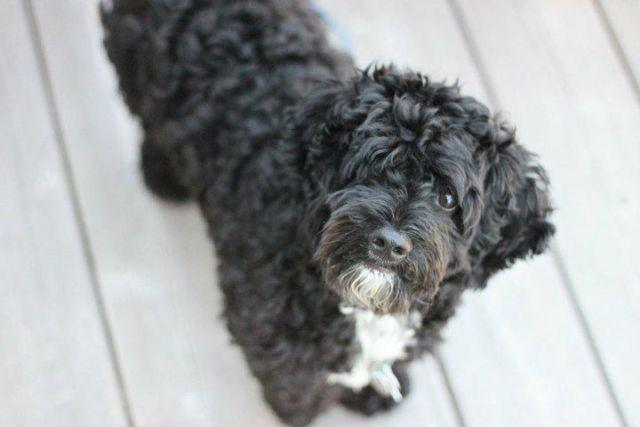 Cockapoo - Vlad - Medium - Young - Male - Dog for Sale in