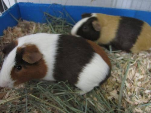 Guinea Pig - Nathan - Small - Young - Male - Small & Furry