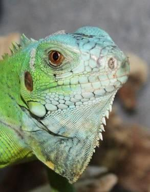 Iguana - Caesar - Large - Young - Scales, Fins & Other