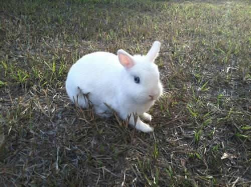 Netherland dwarf bunny-1 yr. very friendly