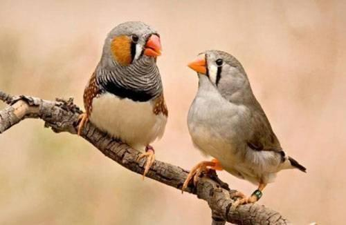 For sale beautiful zebra finches babies